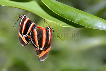 Mating of Banded Orange Heliconian (Dryadula phaetusa) from Brazil  in a butterfly greenhouse
