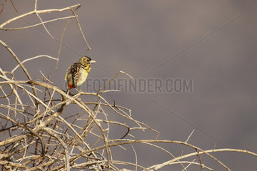 D'Arnaud's Barbet (Trachyphonus darnaudii)  Samburu  Kenya