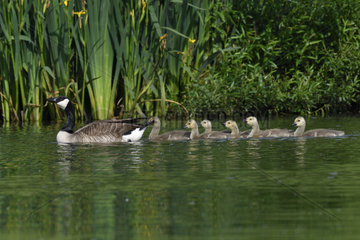 Canada Goose (Branta canadensis) on water and chicks  France