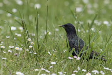 Starling foraging in a flowering meadow at spring - GB