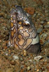 Portrait of Napoleon Snake Eel - Negros Philippines