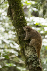 Northern Common Cuscus - Gunung Mutis Timor Indonesia