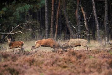 Red Deer (Cervus elaphus) fight during bellowing in a Heather moor  Hoge Veluwe  Netherlands