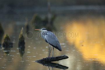 Gray heron (Ardea cinerea) in a dead arm of the Rhine at dawn  Alsace  France
