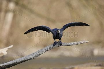 Great Cormorant open wings on branch - Alsace France