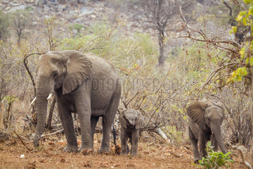 African bush elephant (Loxodonta africana africana) and youngs  Kruger National Park  South Africa