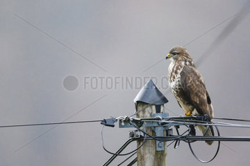 Western-steppe Buzzard (Buteo buteo) on a post  Alsace  France