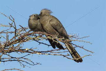 Grey Go-Away-Bird on branch - Okavango Delta Moremi Botswana
