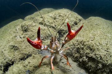 Signal crayfish (Pacifastacus leniusculus) in river Herault  France