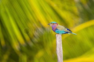 Indian roller (Coracias benghalensis) on a pole  Kalpitiya  Sri Lanka