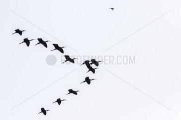 Glossy Ibis (Plegadis falcinellus) group in flight  Brahmapoutra  Assam state  India