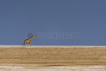 Giraffe (Giraffa camelopardalis) walking in Etosha pan  Namibia  Etosha national park