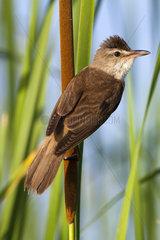 Great Reed Warbler in reedbed - Spain