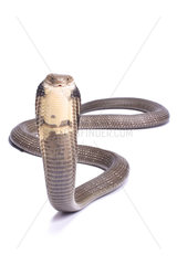 King cobra (Ophiophagus hannah) on white background