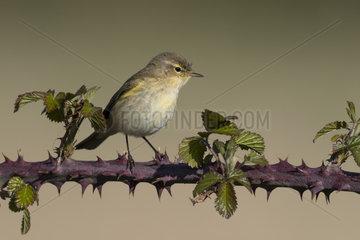 Chiffchaff (Phylloscopus collybita) Chiffchaff perched amongst Bramble  England  Spring