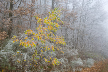 Frosted birch in autumn foliage (Betula pubescens)  Regional park of the Vosges du Nord  France