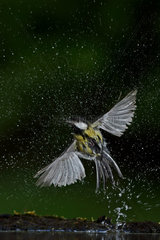 Great Tit (Parus major) emerging from the bath  Hungary