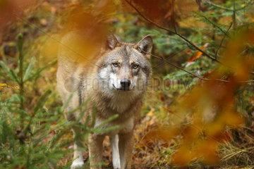 Eurasian wolf (Canis lupus) in fall  Bayerischer Wald  Bavaria  Germany