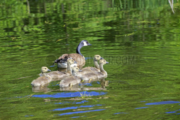 Canada Geese and chicks on water - Minnesota USA