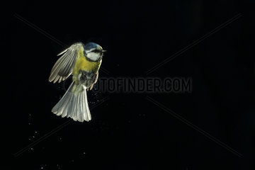 Blue Tit (Cyanistes caeruleus) emerging from a bath on black background and backlighting  Hungary