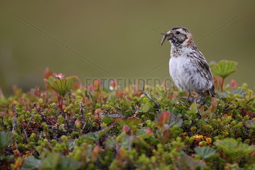 Lapland longspur (Calcarius lapponicus) with insect in beak in a bog  Norway