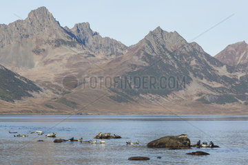 Spotted seal (Phoca largha) on shore  Bukhta Pavla  Kamtchatka  Russia