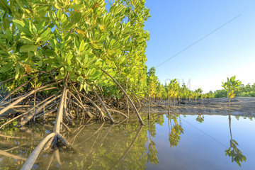Bakau Kurap (Rhizophora mucronata)  Mangrove restored by the Honko project  on the road to Ifaty  near Belalanda (known as Ambondrolava)  southwestern coast of Madagascar  north of Toliara