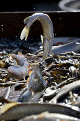 Fishes deposited on a sorting table  draining pond fishing  Malsaucy  Territoire de Belfort  Franche Comte  France