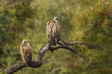Cape vultures (Gyps coprotheres) on a branch  Kruger National park  South Africa