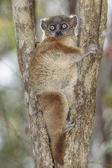 Hubbard's sportive lemur (Lepilemur hubbardorum) on its daytime resting spot  Zombitse Vohibasia National Park  Madagascar