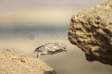 Little owl on ground - Qatar