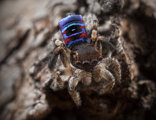 Male Maratus karrie peacock jumping spider from Western Australia