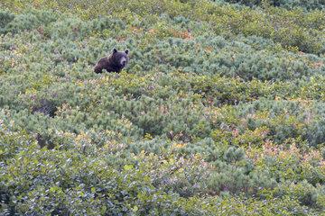 Kamchatka brown Bear (Ursus arctos beringianus)  Bukhta Yuzhnaya Glubokaya  Kamtchatka  Russia