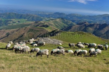 Ewe flock at the mountain pasture  Basque Country  Navarre  Pyrenees  France
