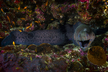 Giant moray (Gymnothorax javanicus) over reef  cleaned by small wrasses and shrimps  Mayotte