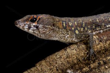 Two faced water teju (Neusticurus bicarinatus) Suriname