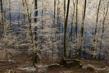 Frosted beech forest in autumn  Vosges du Nord Regional Nature Park  France