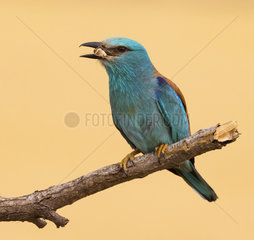 European Roller with a prey in the bill at spring - Spain