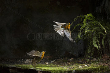 Robin  Erithacus rubecula agresive behaviour in small cave
