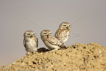 Little owls on ground - Qatar
