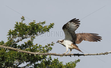Osprey (Pandion haliaetus) adult landing at the perch  Highland  Scotland