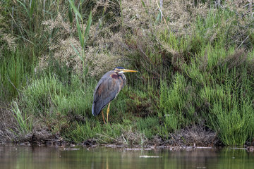 Purple heron (Ardea purpurea) Resting at the edge of a pool in spring  Salins de Hyeres  Mediterranean Coast  France