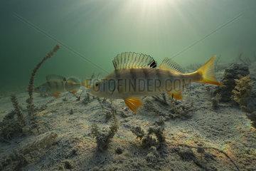 European Perch (Perca fluviatilis) in their aquatic environment  Lac du Jura  France