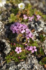 Arctic Bumblebee on flowers in tundra - Greenland