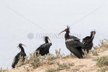 Bald Ibis (Geronticus eremita) on ground  Morocco