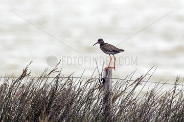 Redshank (Tringa totanus) on a fence post in spring  Polder of Sebastopol  Noirmoutier  Atlantic Coast  France