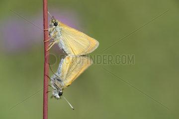 European Skipper (Thymelicus lineola) mating  Mercantour  Alps  France