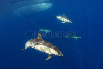 Common dolphin - Short-beaked common dolphin (Delphinus delphis). Group feeding on snipe fish (Macroramphosus scolopax). Tenerife  Canary Islands.
