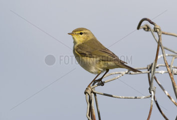 Willow warbler (Phylloscopus trochilus) Warbler perched on a wire  England  Spring
