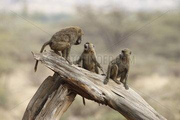 Baboons (Papio hamadryas) playing on a trunk  Samburu  Kenya
